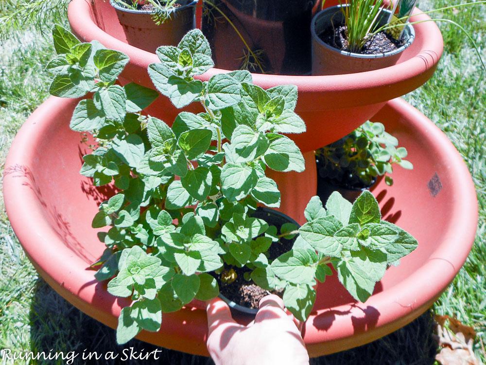 Oregano in the herb tower garden.
