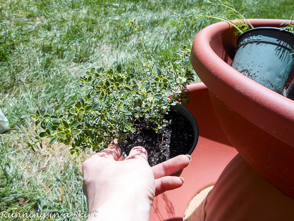 How to Make and Herb Tower shot showing how to plant thyme.
