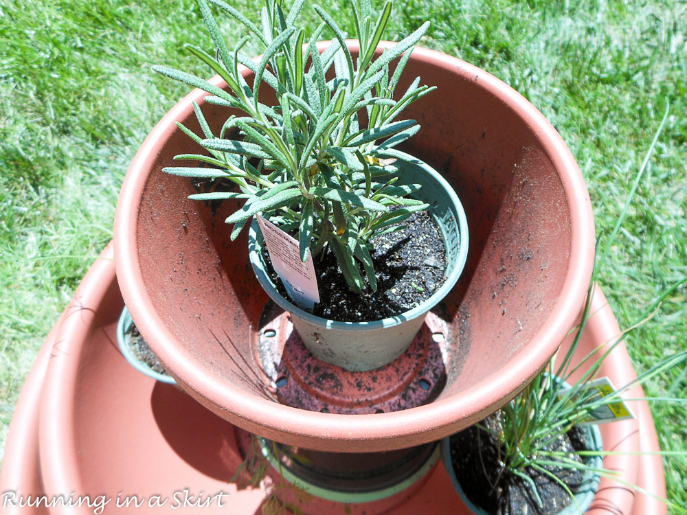Rosemary in a pot.