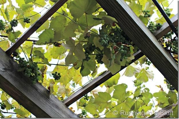 Biltmore_Gardens_Grapes