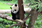In Search of Pandas at the National Zoo