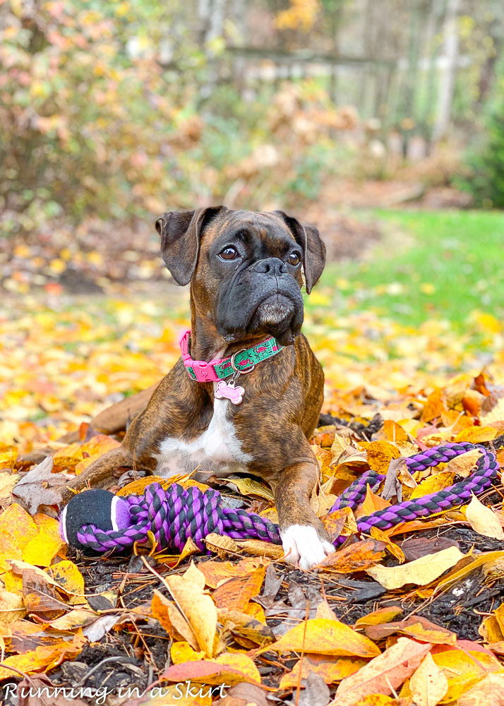 Boxer in fall leaves.