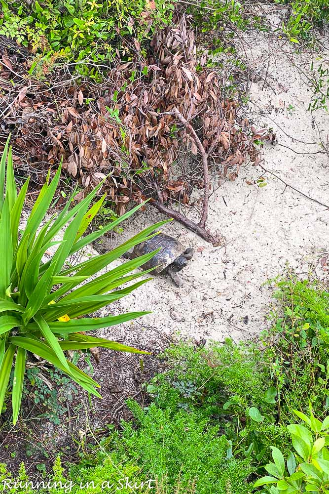 What to Do in Amelia ISland - watch for wildlife like turtles.