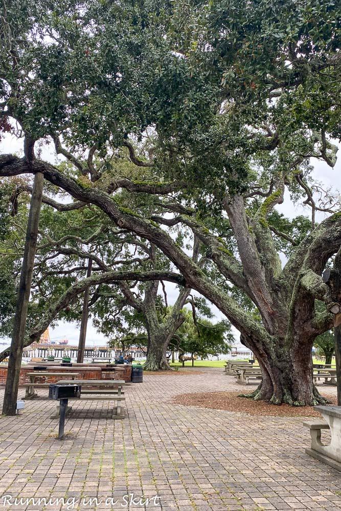 Live oak trees on Saint Simons Island.
